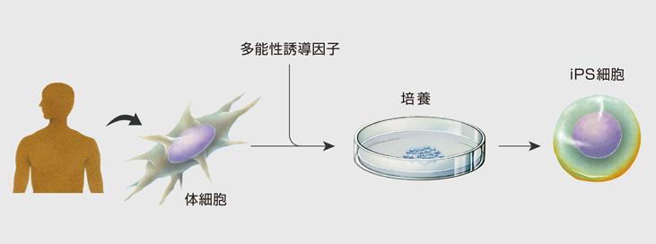 """成熟体细胞""""重造"""",变身"""