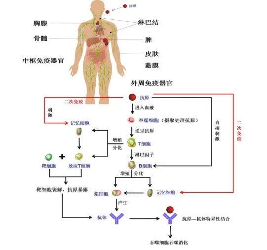 性 免疫 細胞 免疫