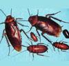 蟑螂4.jpg