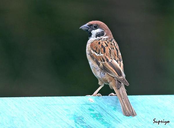 麻雀也是国家保护动物!它到底吃啥?