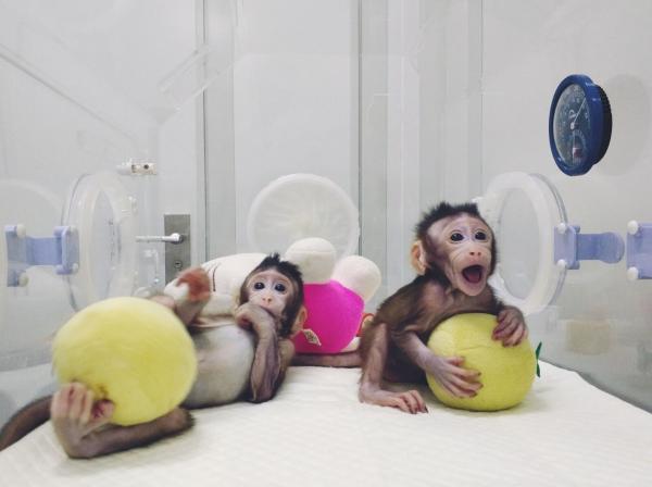 """克隆猴""""中中""""和""""华华""""在中科院神经科学研究所非人灵长类平台育婴室的恒温箱里。 资料图"""
