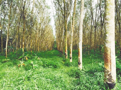 """热带雨林变身橡胶林 土壤""""酸""""了"""